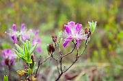 Rhodora blossoming along the Ship Harbor Nature Trail in Acadia National Park, Maine