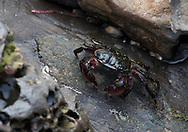 A small striped shore crab climbs among the rocks at Crystal Cove State Park on Oct. 21, 2010. (© 2010, Cindi Christie/Cyanpixel Photography)