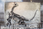 """Young Camarasaurus skeleton at Dinosaur National Monument's Quarry, Utah, USA. Camarasaurus was a 4-legged herbivorous dinosaur which grew up to 50 feet long and was the most common giant sauropod (long-necked dinosaur) of North America. Its fossil remains have been found in the Morrison Formation of Colorado and Utah, dating to the late Jurassic Period (late Oxfordian to Tithonian stages), between 155 and 145 million years ago. The name means """"chambered lizard"""", referring to the hollow chambers in its vertebrae. In Dinosaur National Monument, the popular Dinosaur Quarry displays a spectacular logjam of Jurassic dinosaur bones. The park is on the southeast flank of the Uinta Mountains straddling Colorado and Utah at the confluence of the Green and Yampa Rivers. Although most of the monument is in Moffat County, Colorado, the Dinosaur Quarry is in Utah near the town of Jensen, USA."""