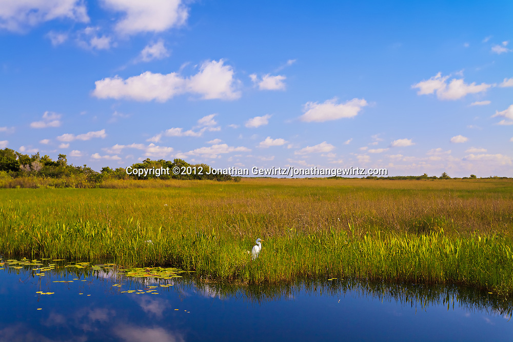 A Great Egret (Ardea alba) stands in grass on the edge of a canal along the Anhinga Trail in Everglades National Park, Florida. WATERMARKS WILL NOT APPEAR ON PRINTS OR LICENSED IMAGES.