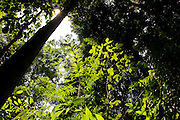 Light shines through green leaves in Peradayan Forest Reserve, Brunei