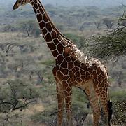 Reticulated Giraffe (Giraffa camelopardalis reticulata) Feeding. Samburu Game Reserve. Kenya. Africa. Ostrich (Struthio camelus) Samburu Game Reserve. Kenya. Africa.