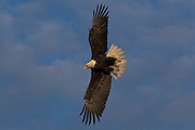 Bald Eagle, Haliaeetus leucocephalus, flying, Kenai Peninsula, Homer Spit, Homer, Alaska. Digital original, #2006_1240 ©Robin Brandt