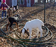 Cornwall, New York  - Baby dairy goats at Edgwick Farm on Feb. 4, 2012. The farm uses goat's milk to make artisan cheese.