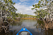Kayaking through red mangroves (Rhizophora mangle) along the Nine Mile Pond Canoe Trail in Everglades National Park, Florida.