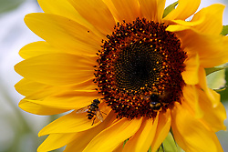 © Licensed to London News Pictures. 28/07/2020. London, UK. Bumblebees collect pollen from sunflower on a sunny morning in the capital. Photo credit: Dinendra Haria/LNP