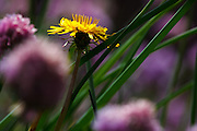 USA, Oregon, Keizer, dandelion surrounded by chives in the backyard.