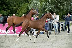 Lumkeman<br /> Centrale Keuring Zeeland - Vrouwenpolder 2016<br /> © Hippo Foto - Dirk Caremans<br /> 02/07/16