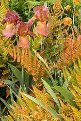 Dryopteris erythrosora and iris in the Cottage garden at Sissinghurst Castle