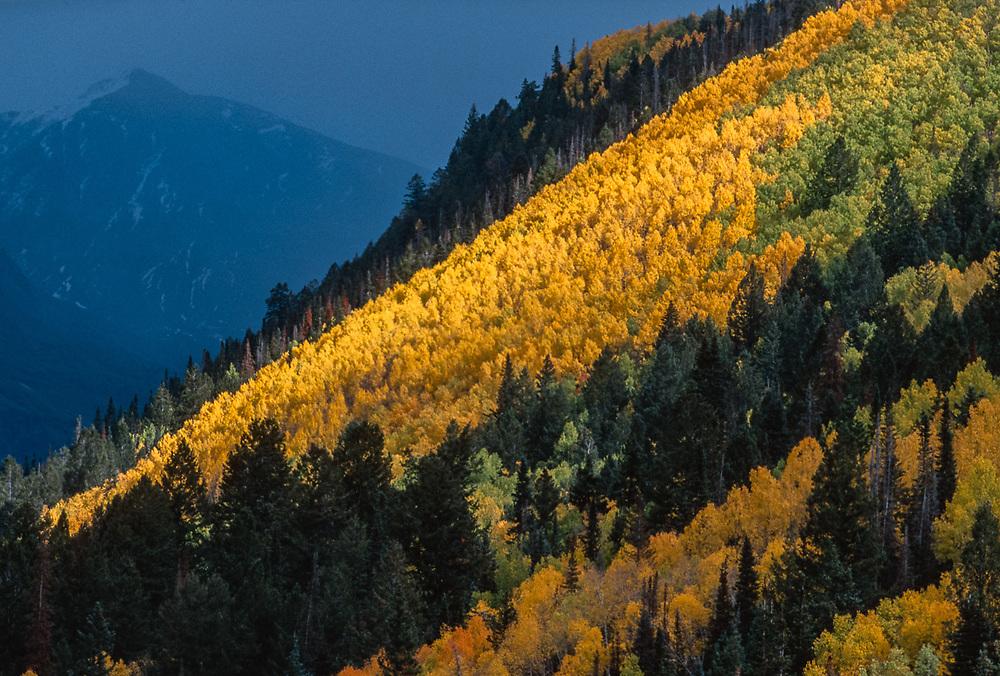 Aspens and evergreens, Uncompahgre National Forest near Telluride, Colorado, USA