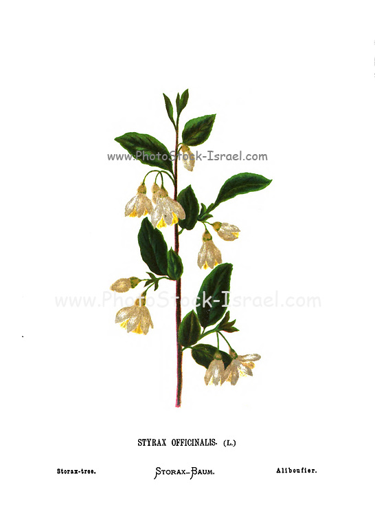 Storax tree (Styrax officinalis) a species of shrub in the family Styracaceae. From the book Wild flowers of the Holy Land: Fifty-Four Plates Printed In Colours, Drawn And Painted After Nature. by Mrs. Hannah Zeller, (Gobat); Tristram, H. B. (Henry Baker), and Edward Atkinson, Published in London by James Nisbet & Co 1876 on white background
