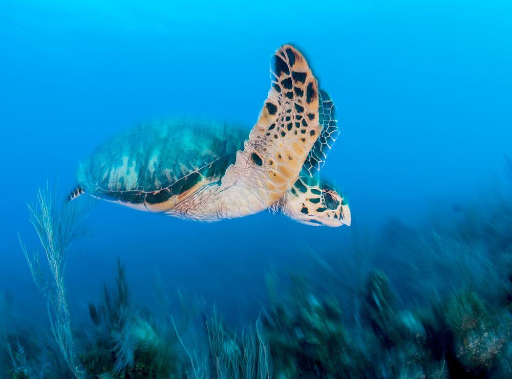 Hawksbill turtle (Eretmochelys imbricata) swimming over a coral reef Jardines de la Reina, Gardens of the Queen National Park, Cuba.