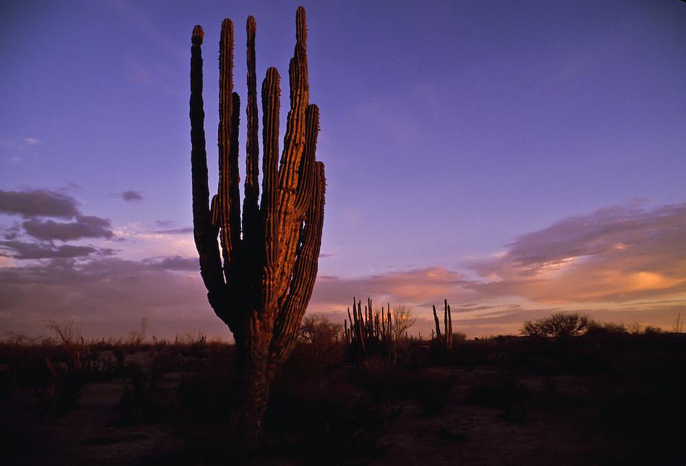A saguaro cactus against the sunset.