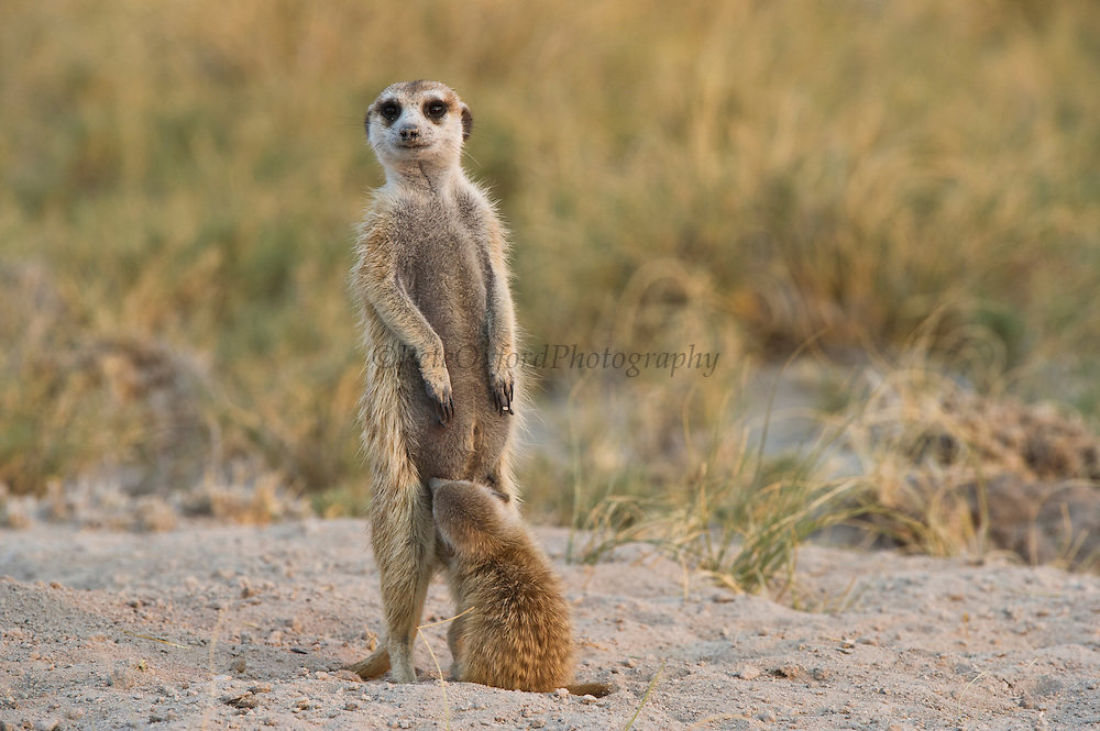 Meerkat or Suricate (Suricata suricatta) Mother and Baby<br /> Makgadikgadi Pans, Kalahari Desert<br /> Northeast BOTSWANA<br /> HABITAT & RANGE: Kalahari Desert in Botswana, Namib Desert of Namibia, Angola and South Africa