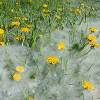 """Seed-laden """"cotton"""" from quaking aspens buries dandelions and grass by a driveway near Bozeman, Montana."""