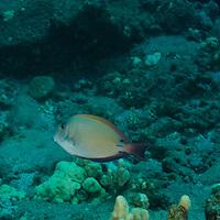 Brown Surgeonfish, Lanai Hawaii