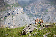 Cow resting in the grass, Via Alpina, Swiss Alps