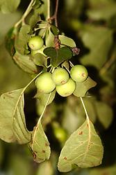 31 July 2006 shots taken on my property..crab apples on flowering crab apple tree