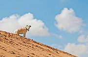 A Labrador Retriever on sand dune