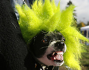 A rat terrier, dressed as a punk rocker has the look plus the attitude at the annual Dog-O-Ween gathering at the Genesee Park off-leash area.  Spike was a member of a band called Bark Flag, a take off on the real band Black Flag.<br /> Alan Berner / The Seattle Times