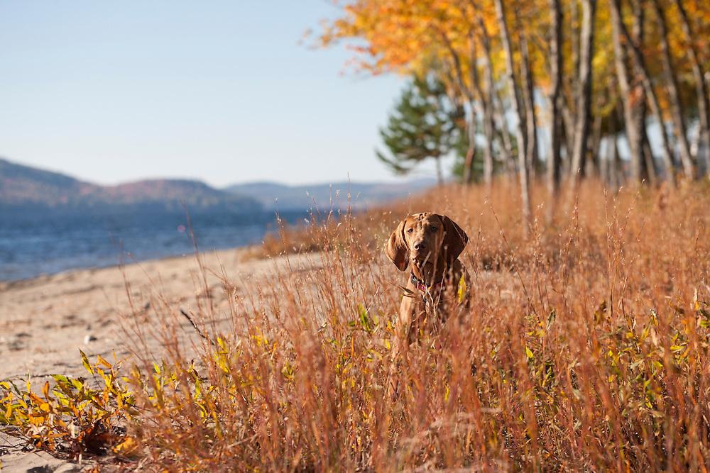 Vizsla hiding in the tall grass