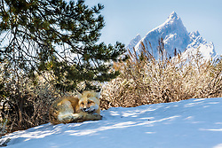 Made in the shade, a red fox still packing his winter coat finds a cool place to relax in Grand Teton National Park.