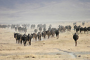 Annual migration of over one million white bearded (or brindled) wildebeest and 200,000 zebras at Serengeti National Park, Tanzania,