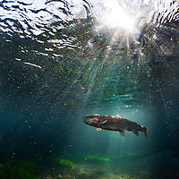 ©Ryan Brennecke 2015<br /> <br /> A rainbow trout swims through rays of sunlight after being hooked on a size 16 pheasant tail.
