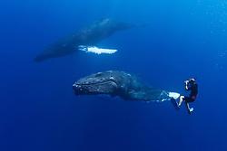 photographer and humpback whales, Megaptera novaeangliae, Hawaii, USA, Pacific Ocean