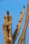 Ten immature European starlings (Sturnus vulgaris) preen and feed while perched on a snag in the Skagit Wildlife Area on Fir Island near Mount Vernon in Washington state.