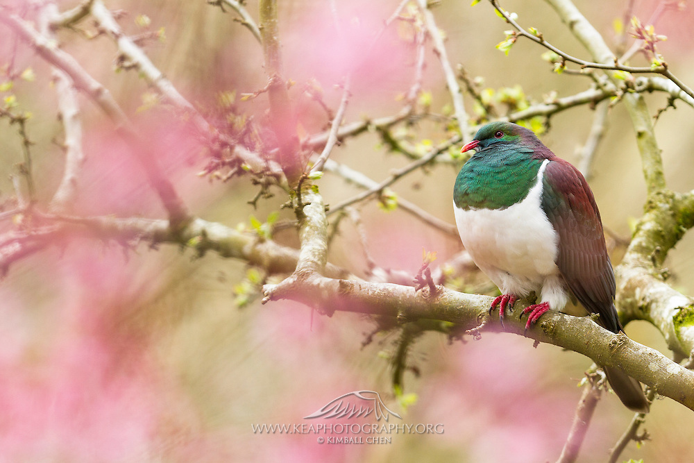 NZ Wood Pigeon perched in a blossom tree, New Zealand