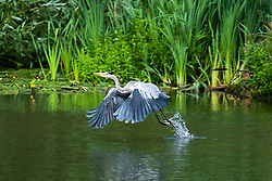 A Grey Heron (Ardea cinerea) of the  bird family: Herons, storks and ibises, flys from Daking Brook Cannon Hall Park and Gardens Barnsley South Yorkshire<br />