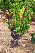 grenache gobelet training old vine vineyard domaine de longue toque gigondas rhone france