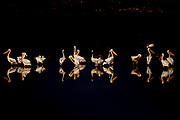 A flock of pelicans at night Photographed in Israel in October