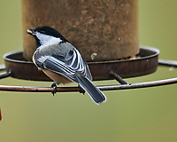 Black-capped Chickadee (Poecile atricapillus). Image taken with a Nikon D850 camera and 600 mm f/4 VR lens