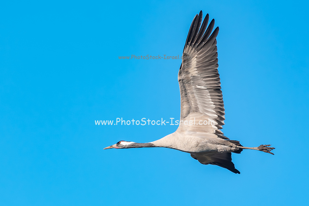 Close up of a single Common crane (Grus grus) in flight. Large migratory crane species that lives in wet meadows and marshland. It has a wingspan of between 2 and 2.5 metres. It spends the summer in northeastern Europe and western Asia, and overwinters in north Africa. It feeds on vegetation, insects, frogs and snakes. Photographed in the Hula Valley, Israel, in March
