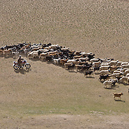 Mongolia. the Orkhon river valley, landscape nomads cattle breeders , herd and droves   -