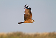 Black Kite - Milvus migrans - Adult