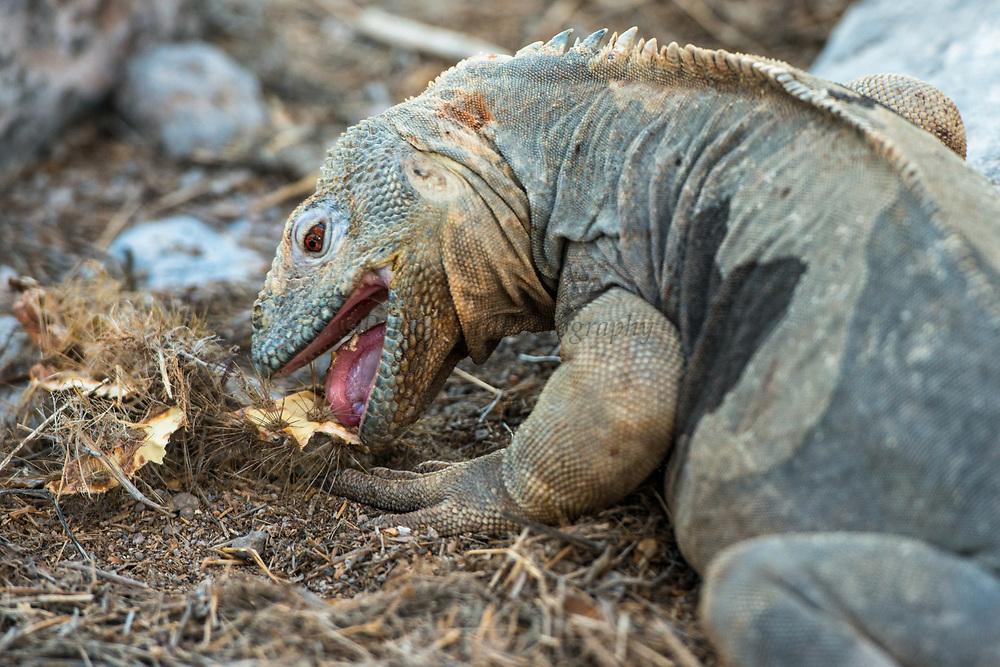 Santa Fe Land Iguana (conolphus pallidus)<br /> Santa Fe<br /> Galapagos<br /> Ecuador<br /> South America<br /> Endemic