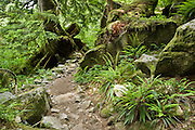 Walk through a verdant forest of green ferns and mossy trees on the Lake Serene Trail, US Highway 2, Mount Baker-Snoqualmie National Forest, Washington, USA