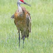 Sandhill crane adult (Grus canadensis) standing upright in tall grass.