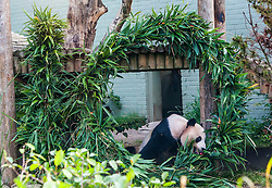 """Yang Guang, Edinburgh Zoo's male giant panda, celebrated his 10th birthday today with a large bamboo sculpture """"10"""", which has been created by the Zoo's own gardening and grounds teams."""