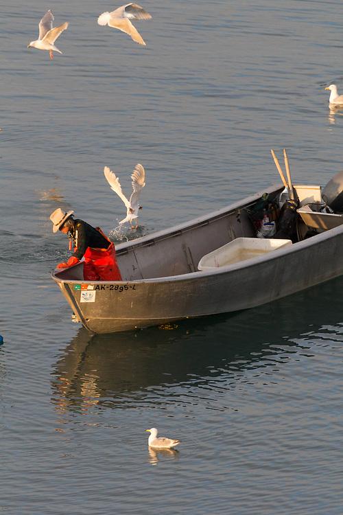 Halibut Cove setnetter approaching his net to harvest fresh Alaskan Salmon.