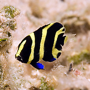 Gray Angelfish inhabit shallow patch reefs and surround areas in Tropical West Atlantic; picture taken Utila, Honduras.