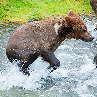 USA, Alaska, Katmai. First year brown bear cub exploring Brooks Falls with mother and family.