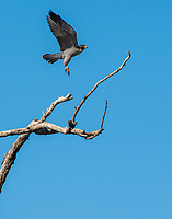 A Peregrine Falcon, Falco peregrinus, flies from a tree in Sacramento National Wildlife Refuge, California