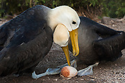 Waved Albatross pair (Phoebastria irrorata) change over for egg incubating<br /> Punta Cevallos, Española Island, GALAPAGOS ISLANDS<br /> ECUADOR.  South America<br /> ENDEMIC TO GALAPAGOS. <br /> CRITICALLY ENDANGERED<br /> However a few pairs nest on Isla de la Plata near the Ecuadorian mainland. +-12,000 pairs breed on the Island of Española in Galapagos. They only come ashore between April and December to breed, otherwise they spend their entire life at sea. Once an albatross chick fledges and goes to sea it will remain there until it is 4 years old before returning to land to breed for the first time. Albatross mate for life and live about 40 years. They form part of the family of tube-nosed birds.
