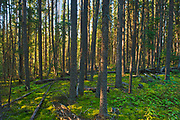 Black spruce trees, bunchberries and moss in the Boreal forest <br />Pisew Falls Provincial Park<br />Manitoba<br />Canada