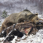 Grizzly Bear (Ursus horribilis) feeding on a bison carcass in the Rocky Mountains of Montana. Captive Animal