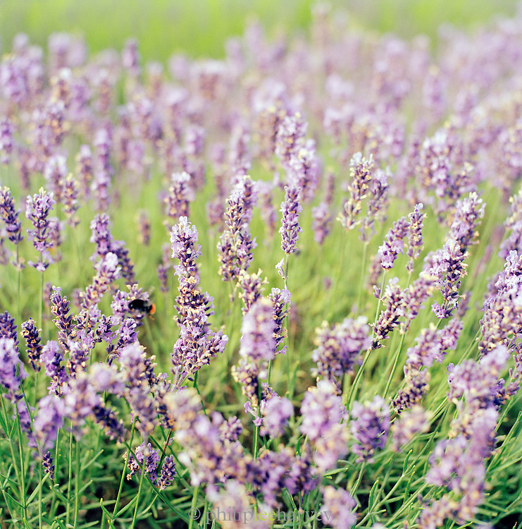 A bumble bee pollinating Lavendar plants on a farm in the English countryside, UK